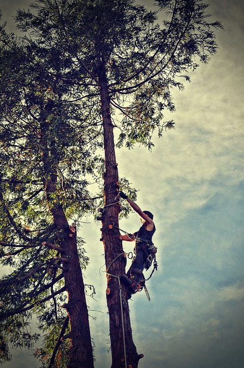 Professional tree removal, topping tree by climbing.